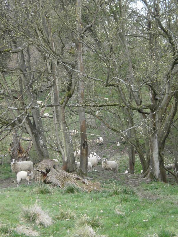Sheep on Kiftsgate Hill