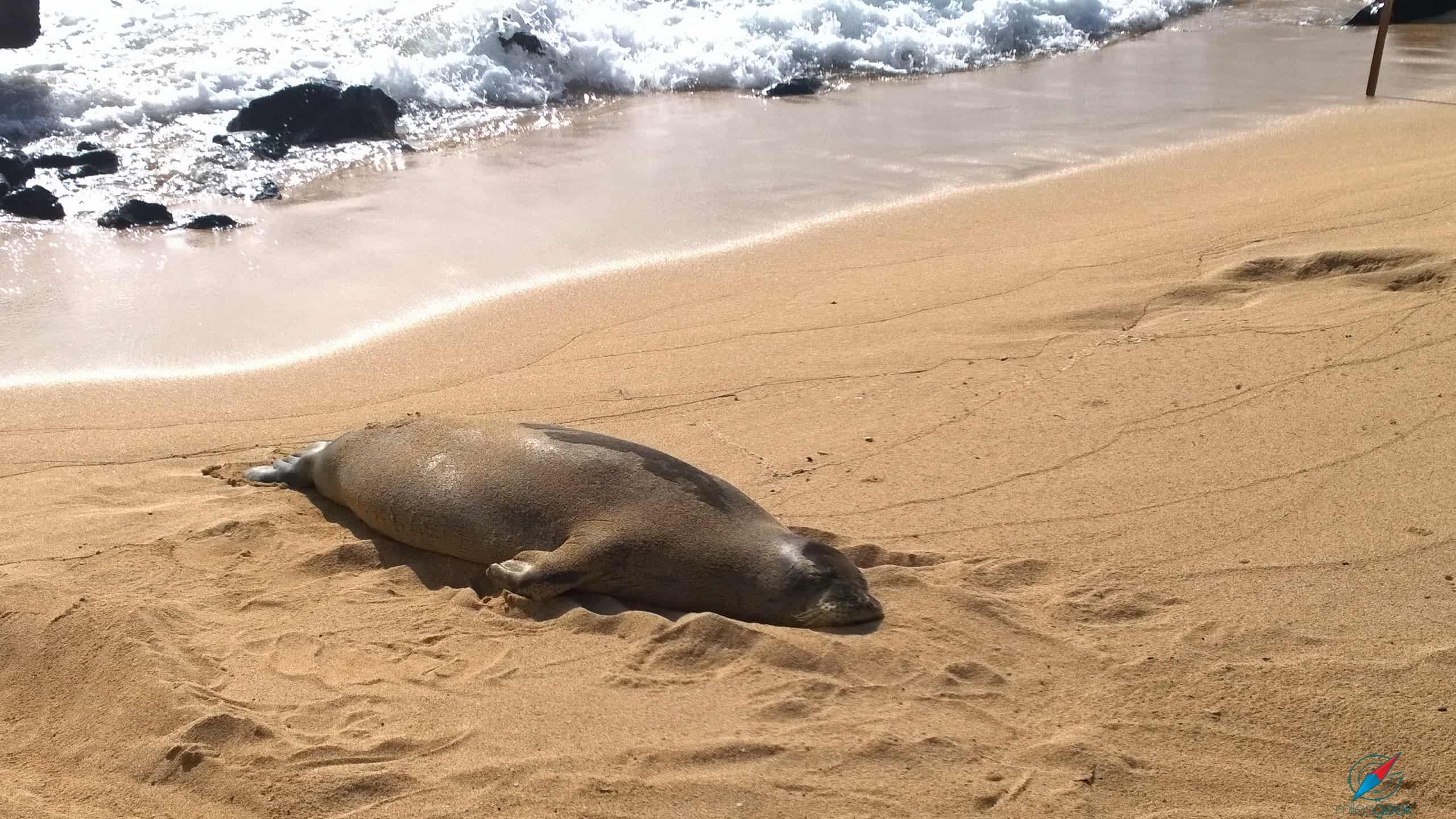 Hawaiian Monk Sea