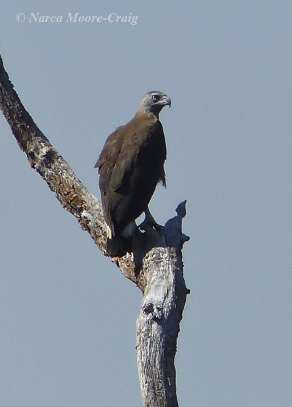 Gray-headed Fishing Eagle