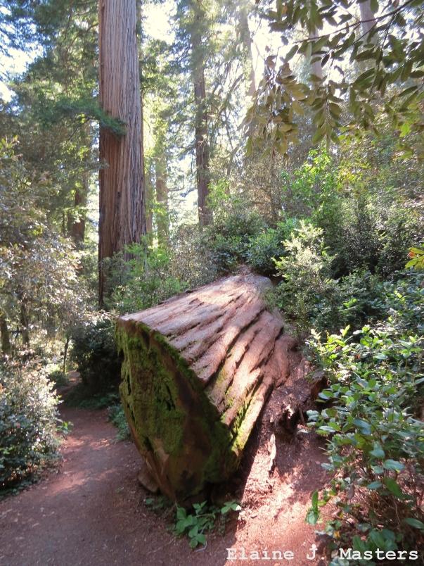 Redwood National Park Trail