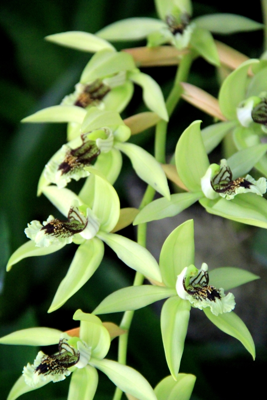 Sleeping Giant Orchid