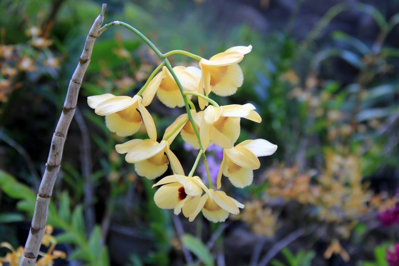 Sleeping Giant Orchid3