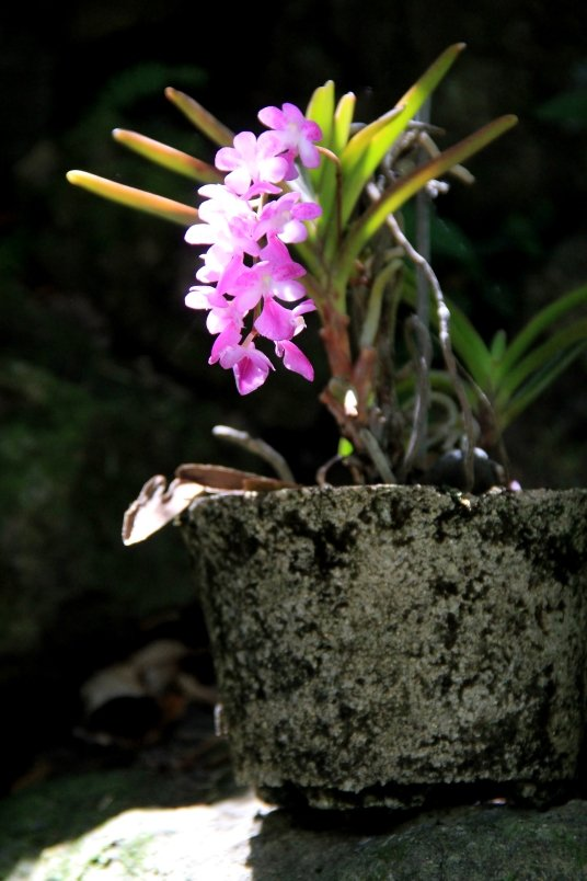 Sleeping Giant Orchid4