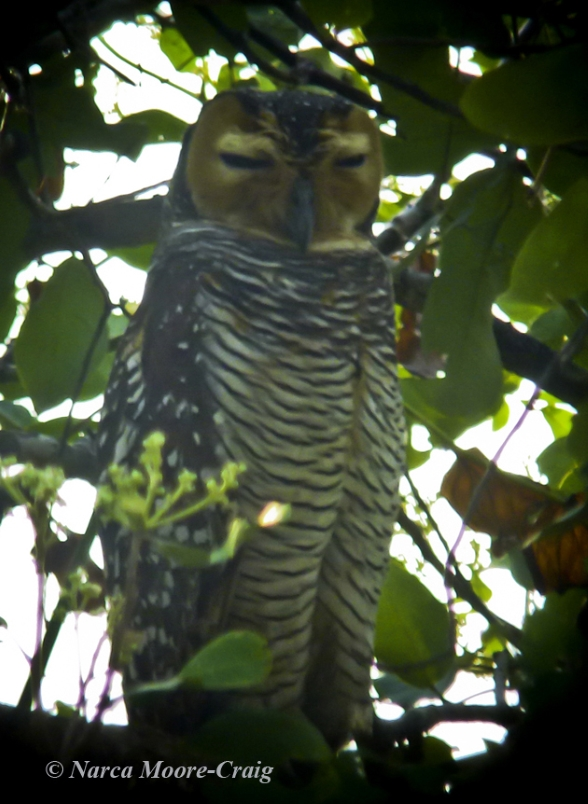 Spotted Wood Owl Tmatboey, Cambodia.