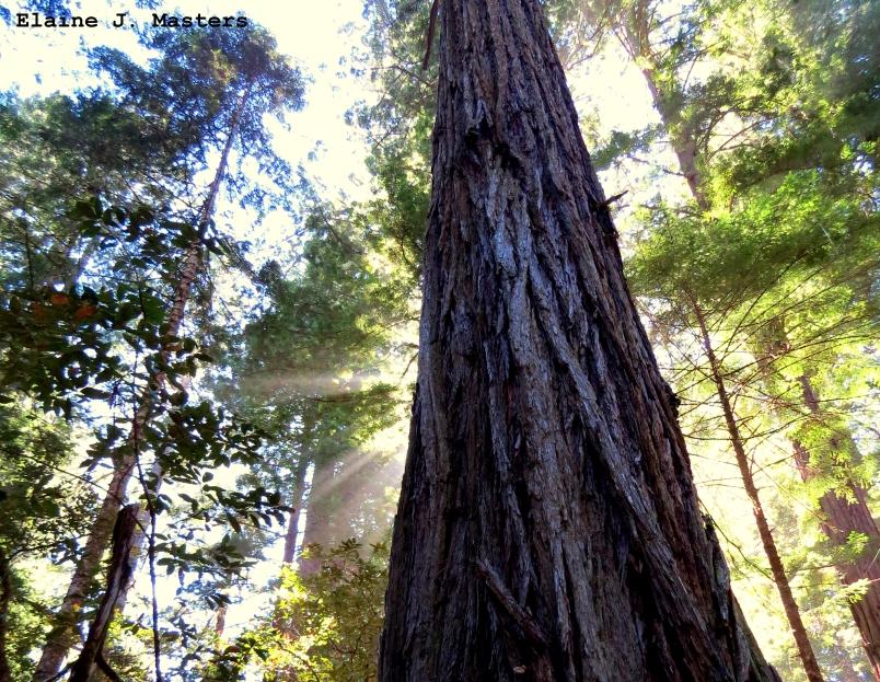 Sunlight in tall redwoods - Elaine J Masters