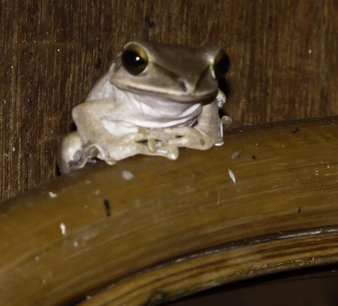 Tmatboey Frog