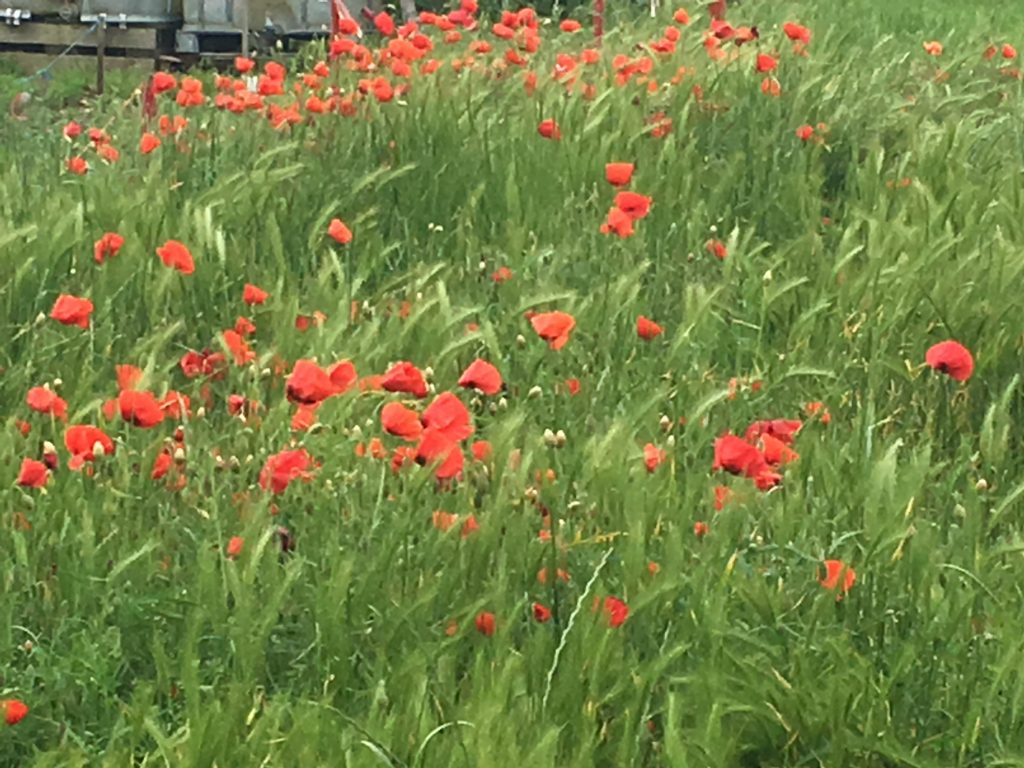 The Poppy Fields of France - Europeans Waterways
