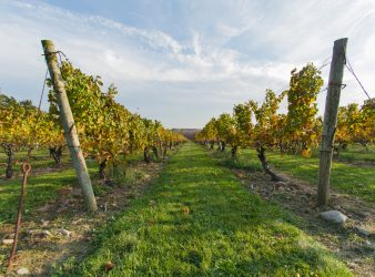 Vines of Stonington Vineyards