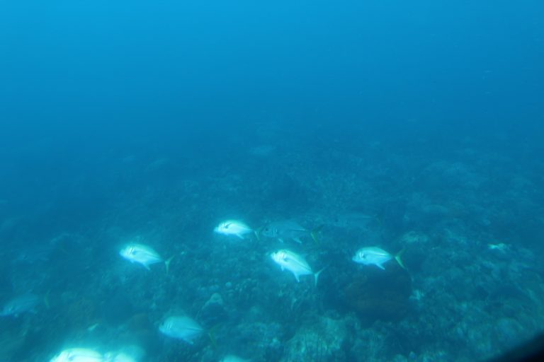 A school of Jacks darting through the reef