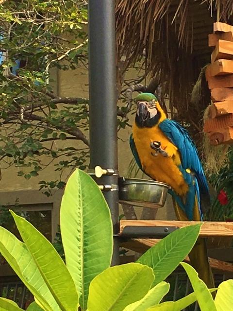 One of Humphrey Half Moon Inn's resident Macaws