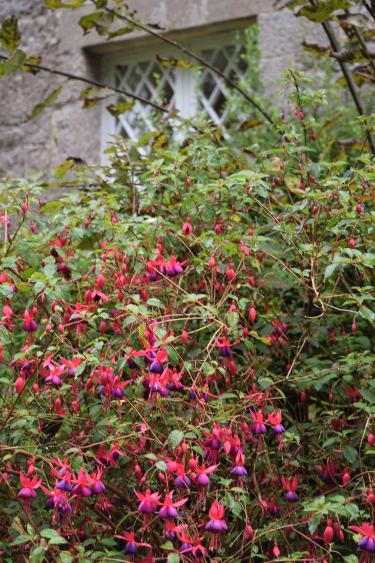 Fuschia outside kitchen window Erne View Cottage