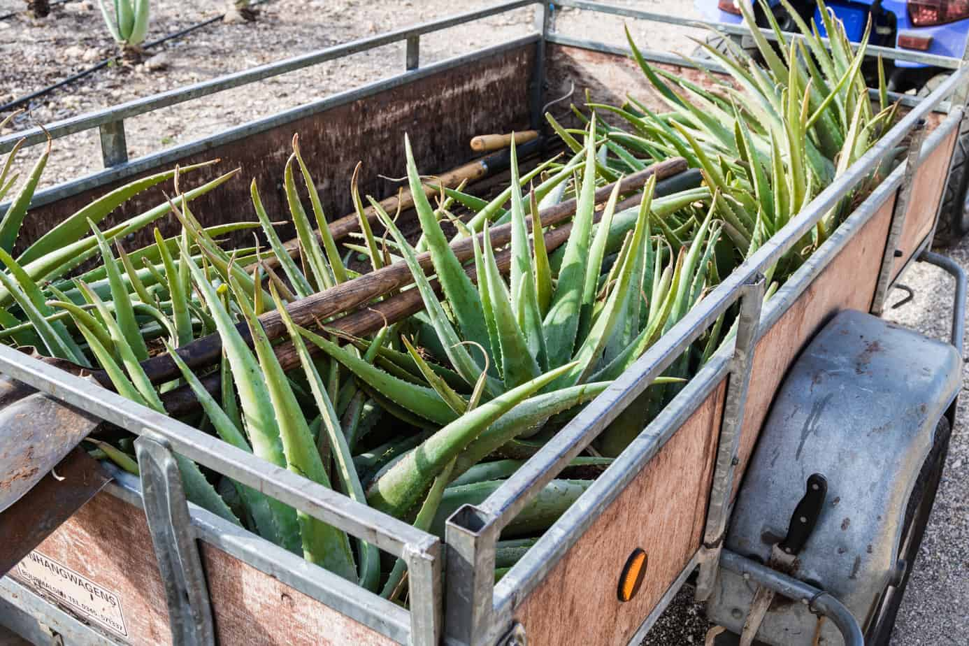 Aloe Vera farm harvesting in Aruba