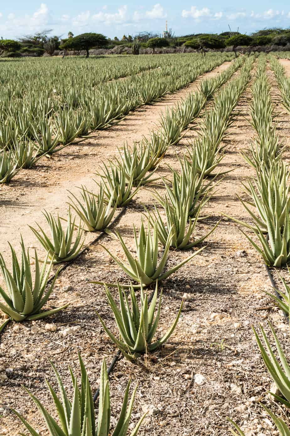 Field of aloe vera plants in Aruba