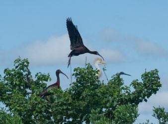 Two White Faced Ibis, Cattle Egret, Tricolored Heron