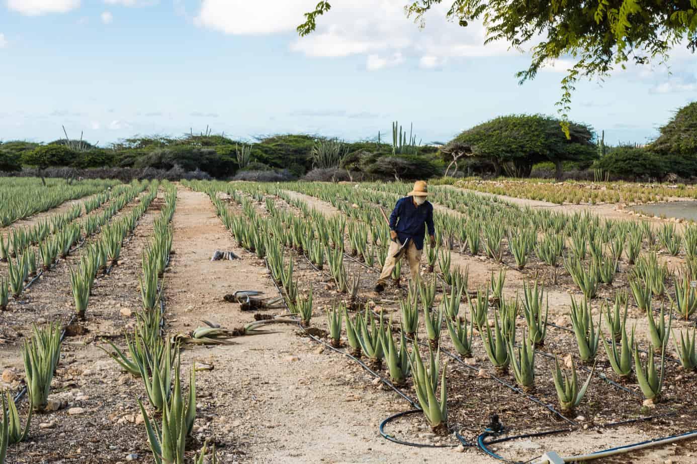 Aruba Aloe Vera Farm Worker