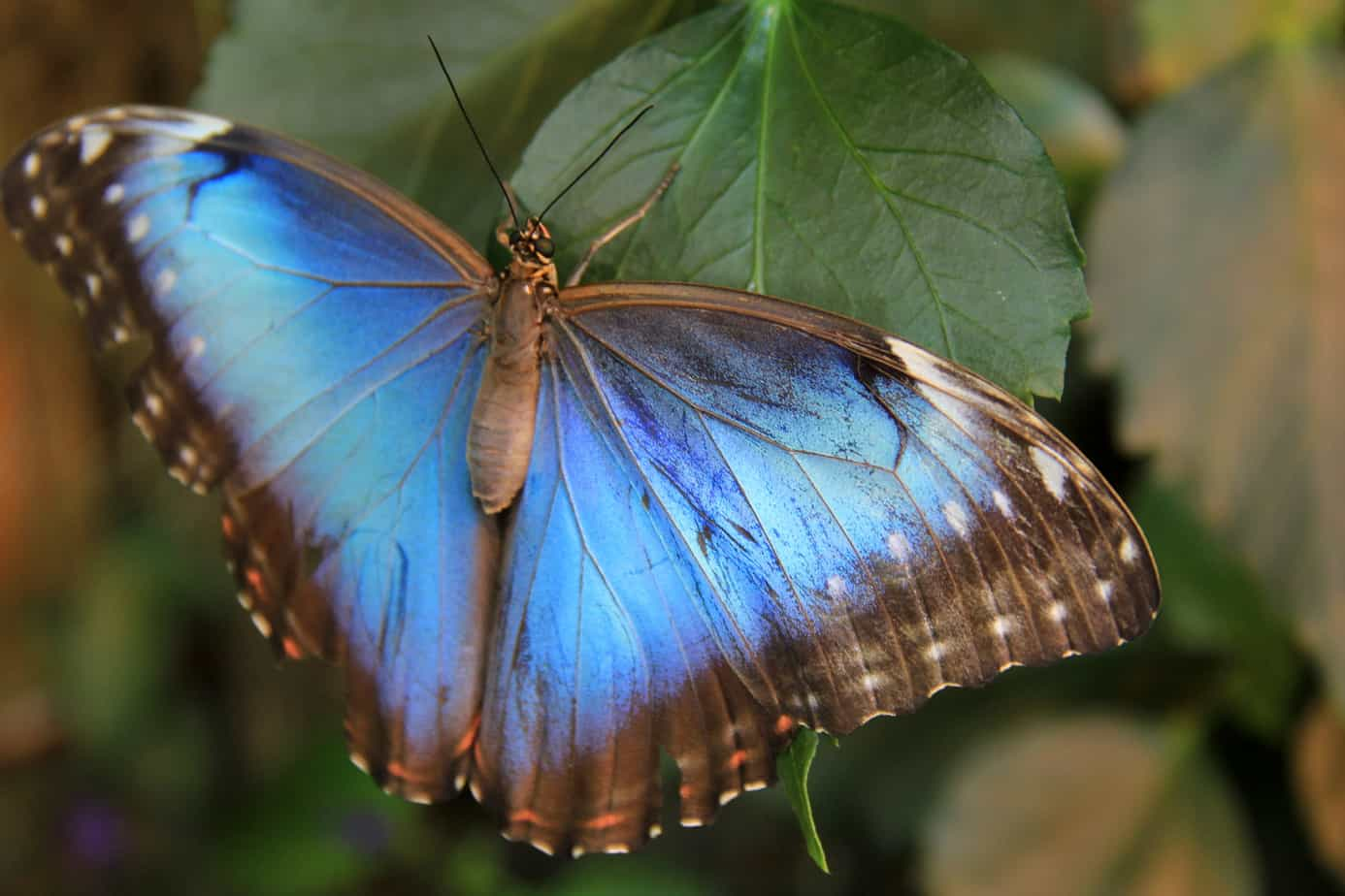 Blue Butterfly Dancing Wings Butterfly Garden