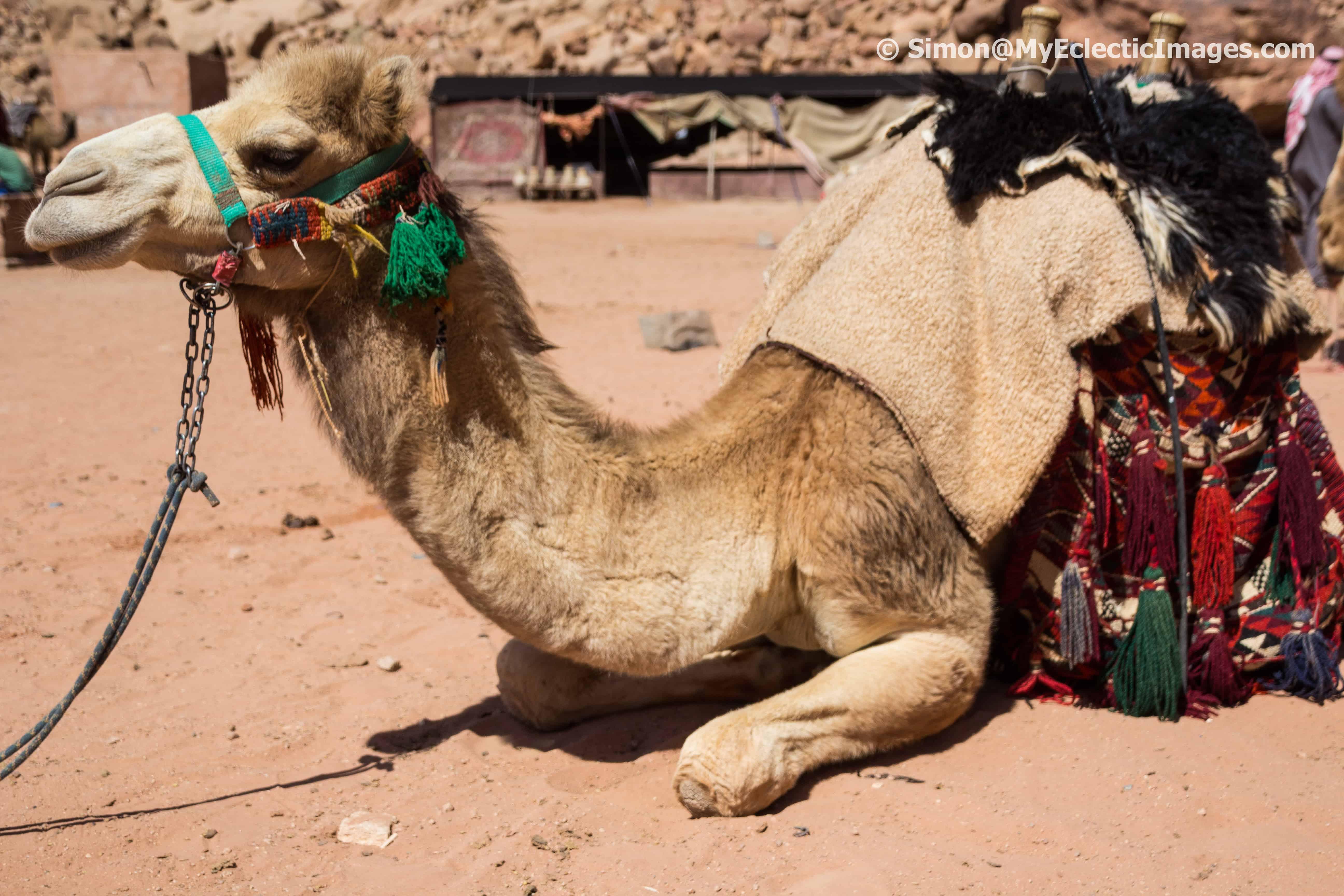 Camel Resting Near Lawrence Spring Jordan