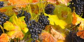 Grapes at Messina Hof