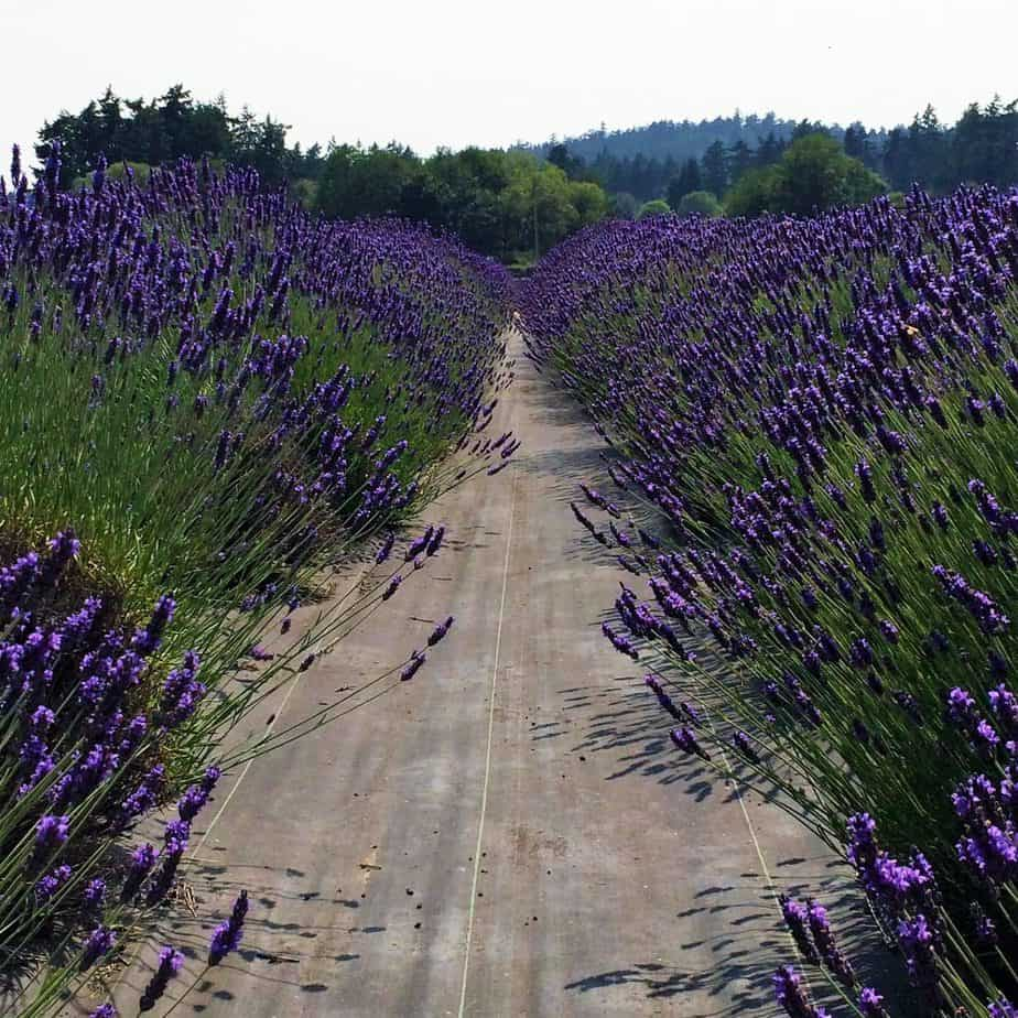 Pelindaba Path of Lavender