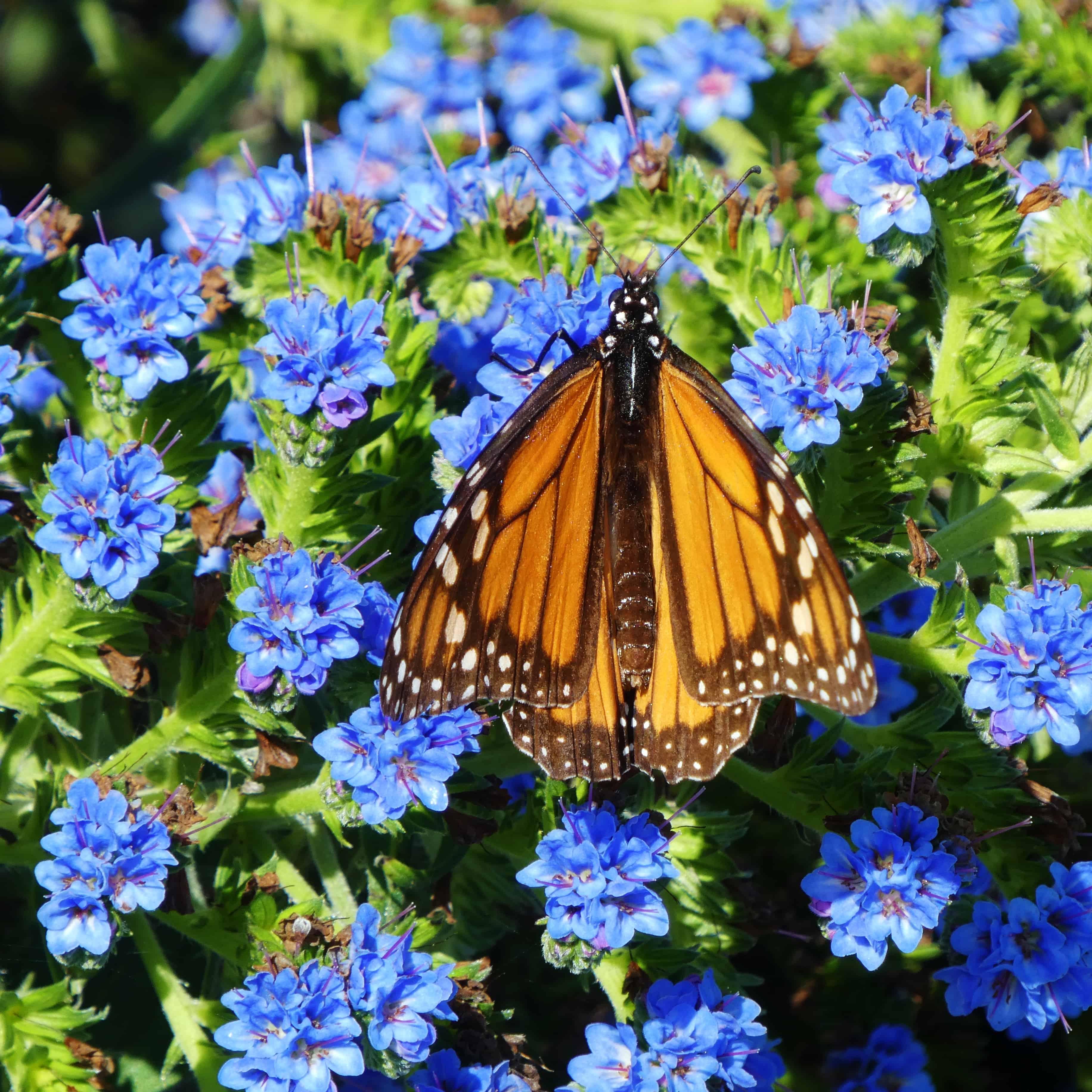 Pacific Grove Monarch Monterey