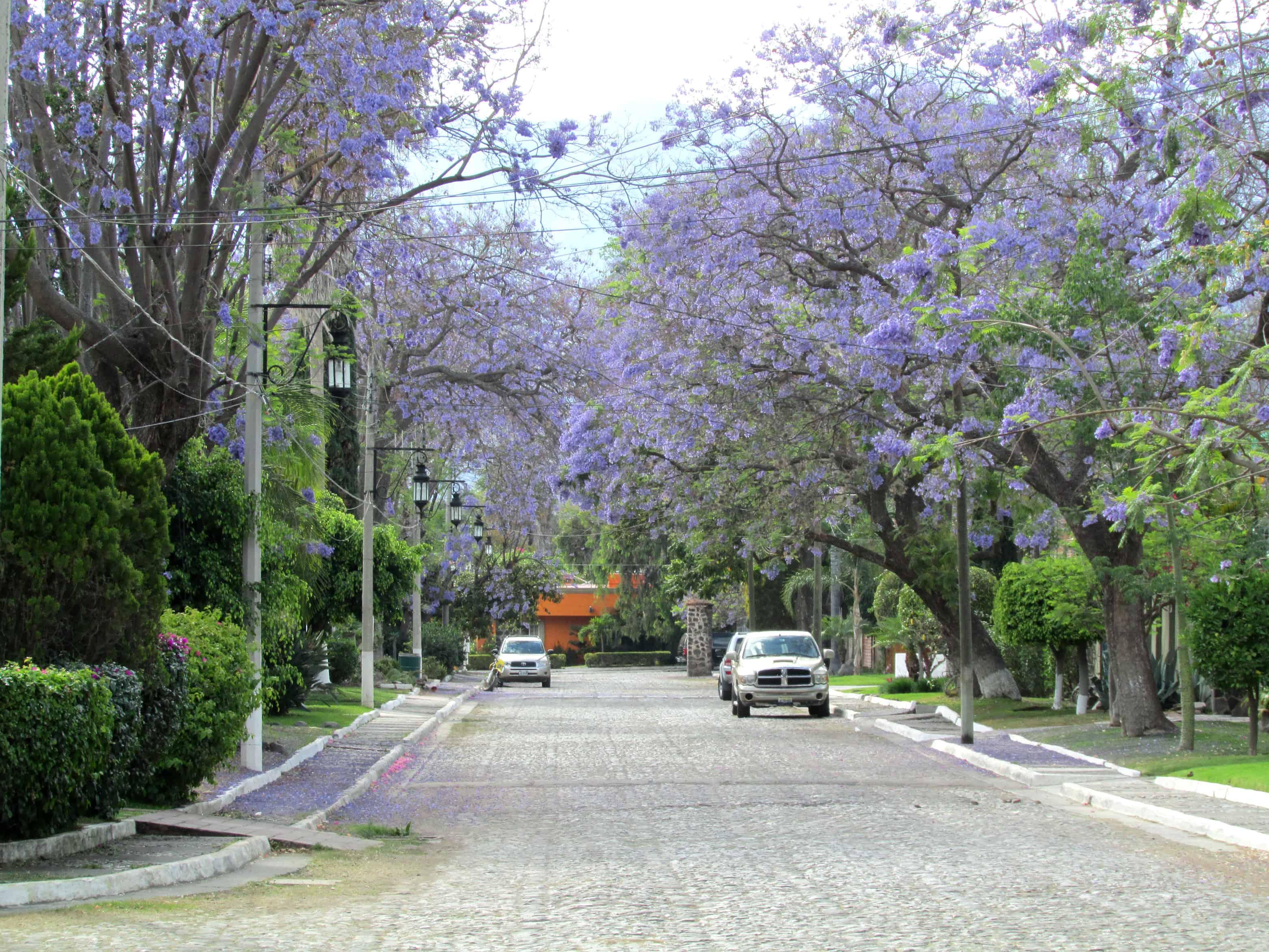 Jacaranda Trees - La Floresta Ajijic Mexico