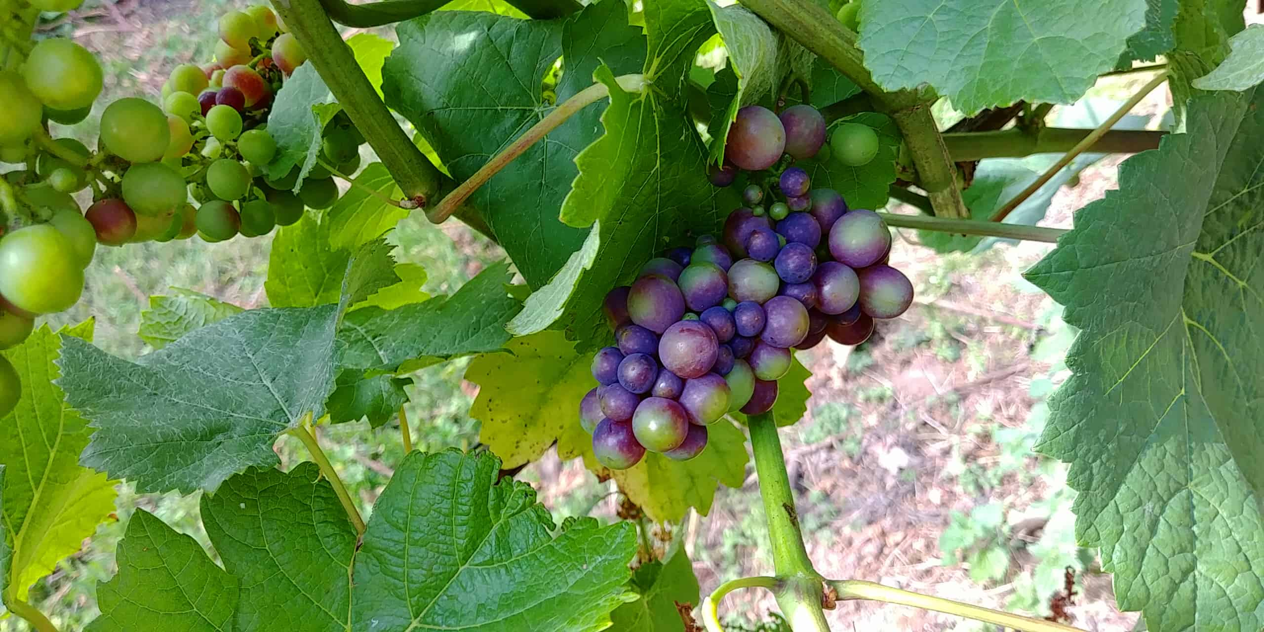Rondo grapes in August at Wythall Vineyards, Ross-on-Wye England