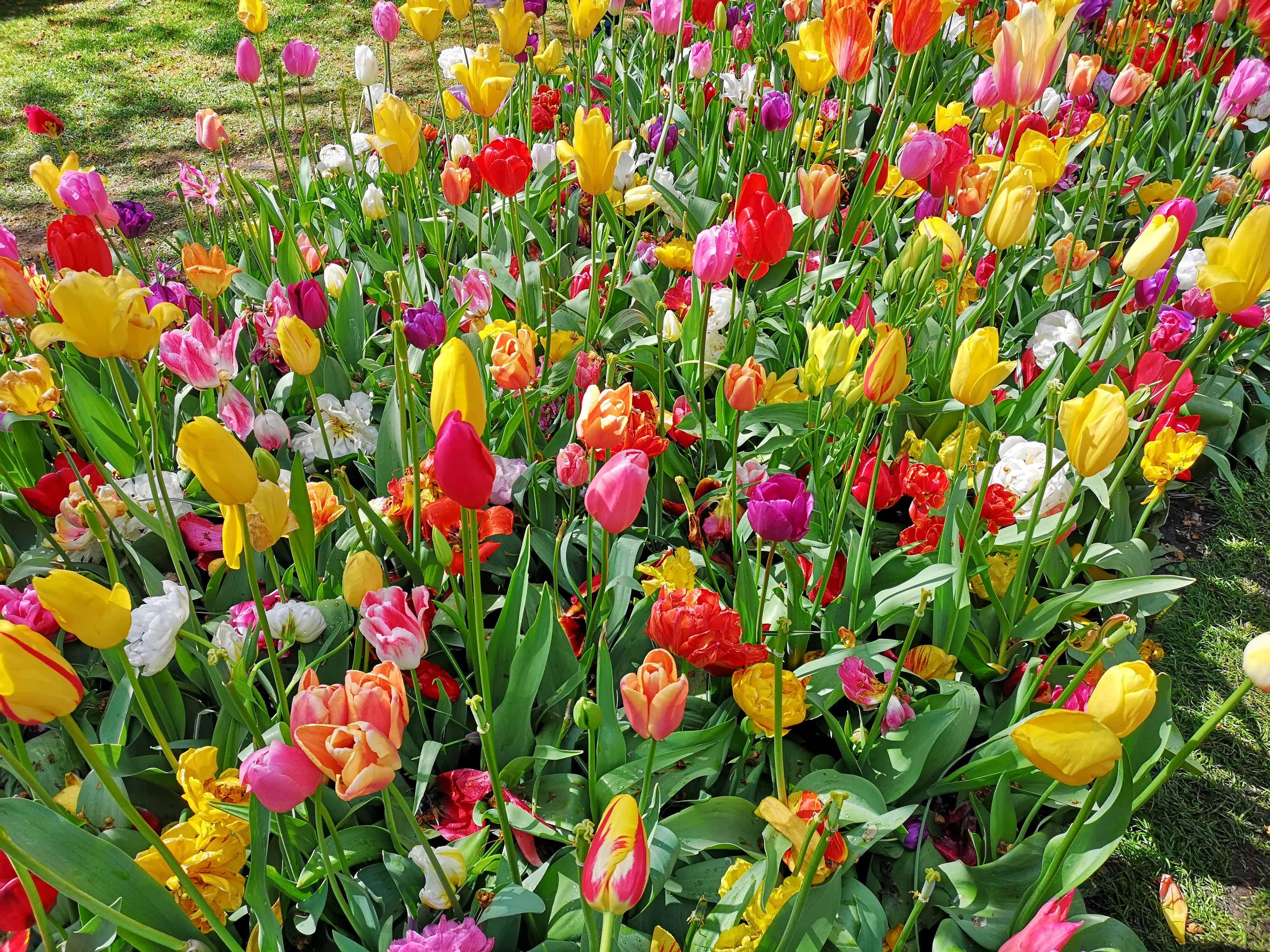 Keukenhof Gardens Flowers